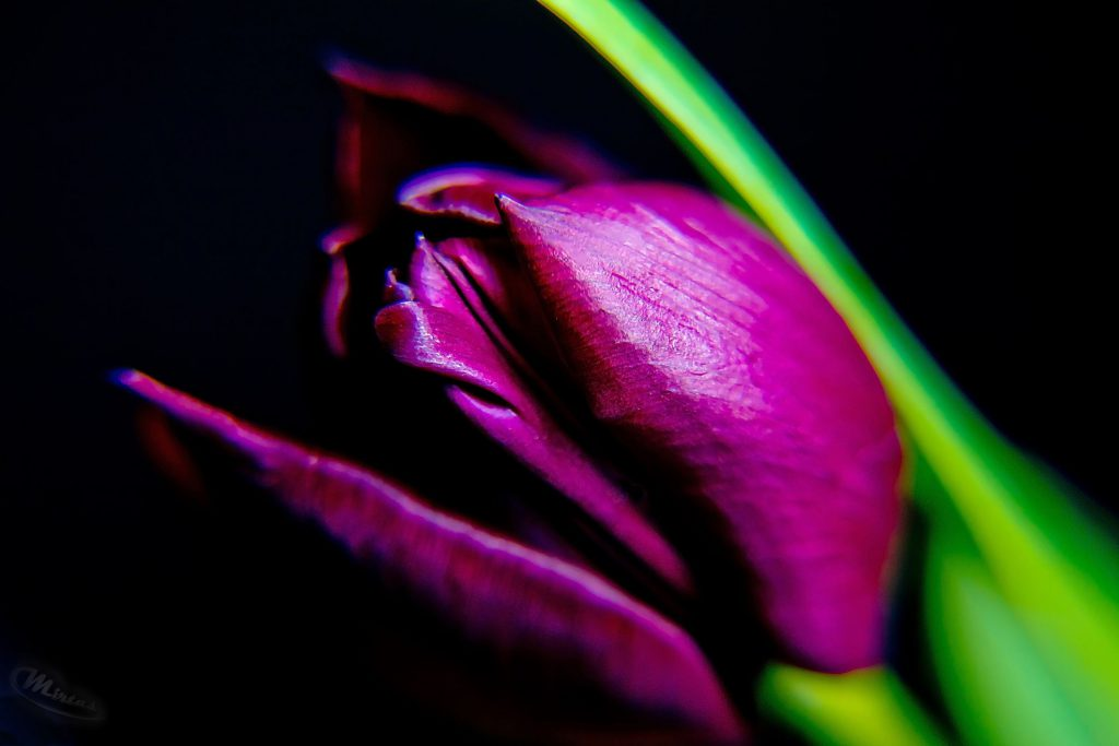 Studiofotografie - Pflanzen - Low-Key-Tulpe