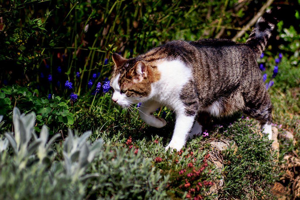 Naturfotografie - Tiere - Katze auf der Pirsch