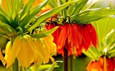 Keiserkronen_Fritillaria_imperialis_IMG_3394_2a_1_kl