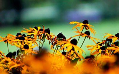 Sonnenblume_#_Helianthus_annuus_IMG_6397_2_mL_kl